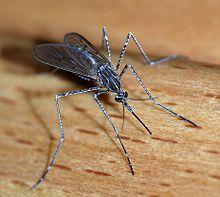 220px-Mosquito_2007-2