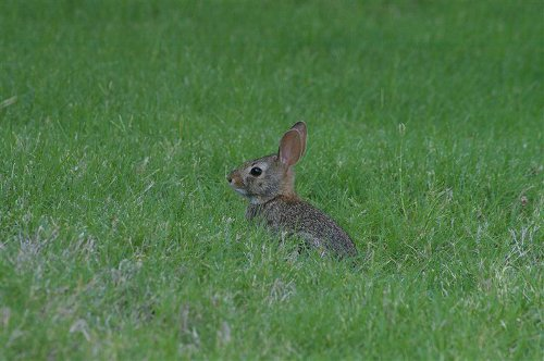 easterncottontail-juvenile-001